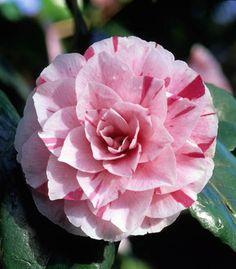 Camellia japonica 'Contessa Lavinia Maggi' Fotografia de John Glover, uno de los primeros y de los mas importantes fotografos de jardin del Reino Unido