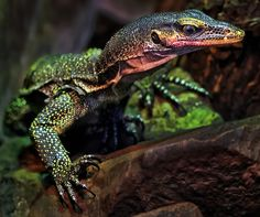 Photograph Dragon by Klaus Wiese on – Reptilien Les Reptiles, Reptiles And Amphibians, Mammals, Terrarium Reptile, Chameleon Lizard, Monitor Lizard, Pet Turtle, Bearded Dragon, Wild Dogs