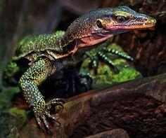 Blue Tree Monitor Lizard | Varanus jobiensis #Peach Throat Monitor #Monitor Lizard #r