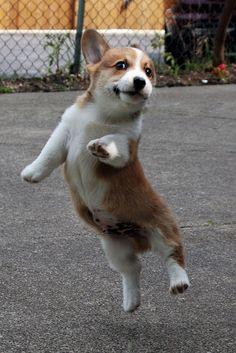 Leapin' corgis!