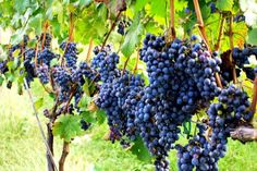 concord grapes: Jerrell loved Mother's espaliered grapevine, he could walk along, eat grapes as long as he wanted. Favorite for preserves that Mother made.
