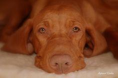 Hungarian Vizsla A beautiful four pawed person Most Beautiful Dog Breeds, Beautiful Dogs, Best Dog Breeds, Best Dogs, Bloodhound Dogs, Ibizan Hound, Redbone Coonhound, Dog Pounds, Hungarian Vizsla