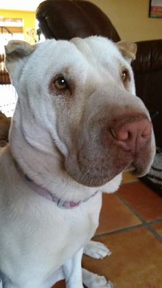 Meet Maya, a Petfinder adoptable Shar Pei Dog | Tucson, AZ | Maya is a 3 year old Shar Pei found as a stray in Phoenix AZ. She is excellent with all dogs both...