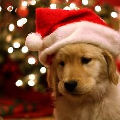 Golden puppy with Santa hat. @Heather Creswell Dearborn LOOK AT IT. We're gonna have one soon. :)