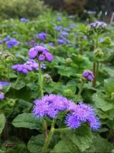 Looking for a little extra blue? Ageratum could be the perfect accessory