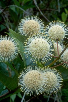 Shrubs Common buttonbush - Cephalanthus occidentalis Hardy to F (USDA zones Accent or specimen shrub in wet or mucky soils. Provides significant food and cover for wildlife. Australian Native Garden, Australian Native Flowers, Australian Plants, Unusual Flowers, Amazing Flowers, White Flowers, Beautiful Flowers, Beautiful Gorgeous, Unusual Plants