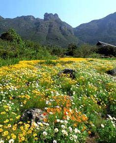 Spring flowers at Kirstenbosch