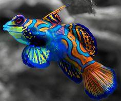 Live Saltwater Fish Mandarin Goby- Green   Reefs2go.com