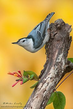 White-breasted Nuthatch by Mike Lentz Photography, via Flickr