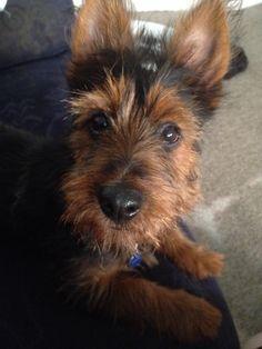 My Alfie  - Australian Terrier