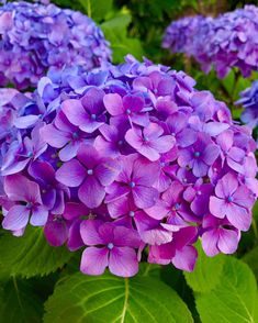 A flowering shrub hydrangea is sought-after for its gorgeous colorsblue pink green white and purpleand for its signature round shape. Smooth Hydrangea, Hydrangea Care, Hydrangea Flower, Purple Hydrangeas, Flowers Nature, Amazing Flowers, Pretty Flowers, Purple Flowers Wallpaper, Popular Flowers