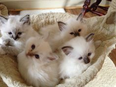 Beautiful Birman kittens for sale! Margate, Kent