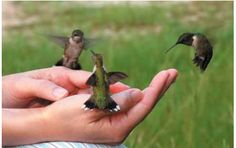 Five Steps To Feeding Hummingbirds In Your Hand So gonna try this with my hummers