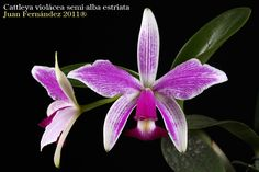 Cattleya violácea semi-alba estriata - Flickr - Photo Sharing!