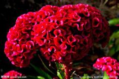 Potted plants flower seeds flower fairy cockscomb original packaging Garden bonsai plants the seeds of the family