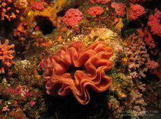 Nudibranch Egg Ribbon - Kenting (08-09May10) C 290.jpg | Thomas ...