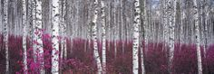 Silver Birch Forest, China Print at Art.com