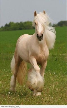 palomino gypsy vanner horse~Gypsy Vanners are my favorite :)