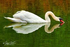 Swan Bird Photography White Swan Art Swan Nature