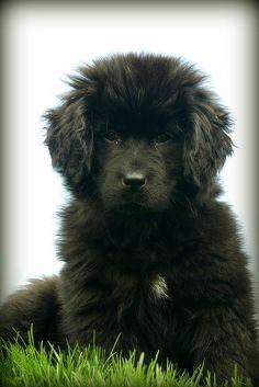 Newfoundland pup ❤️