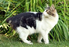 Cymric Cat Short Tail Cat, Funny Animal Memes, Funny Cats, Canadian Cat, Cymric, Manx Cat, Bobtail Cat, All About Cats, Domestic Cat