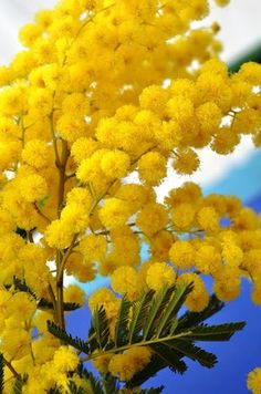 Maria would like to throw mimosa (or yellow ponpoms) to the air to celebrate Spring that is coming which her dance in the yellow dress would symbolise