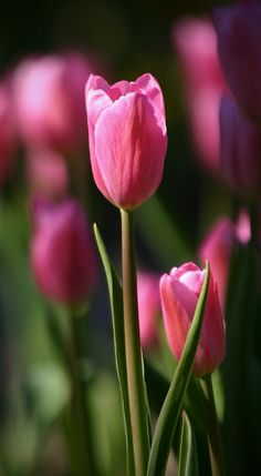 Purple perennial flower identification annotate botany pinterest tulips in spring mightylinksfo