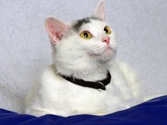 Mildred is an adoptable Domestic Short Hair-White Cat in Indianapolis, IN. Oh Mildred you funny girl. Mildred will seek you out for the attention she desires. She's such a playful and cuddly girl. Ask...