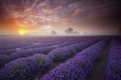 Lavender Sunrise, Somerset, England  photo via fy
