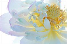 lotus flower macro - DD0A6043-1
