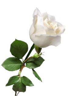 FIRST LADY - 71  Eden Roses Ecuador