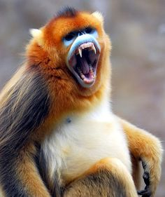 Golden monkey | Flickr - Photo Sharing!