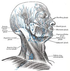 Nodes of the neck and face.