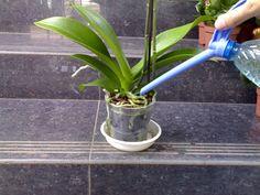 Hnojivo z banánové slupky zařídí, aby orchideje znovu vykvetly – domácí tipy a triky Indoor Orchid Care, Orchids In Water, Orchid Roots, Growing Orchids, Liquid Fertilizer, Orchid Plants, Small Farm, Plant Care, Houseplants