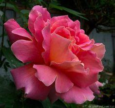 Pernetiana Hybrid Tea Rose: Rosa 'Federico Casas' (Spain, before 1929)