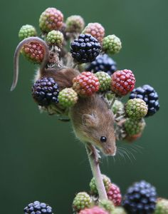 The Harvest Mouse is Europe's smallest mouse.