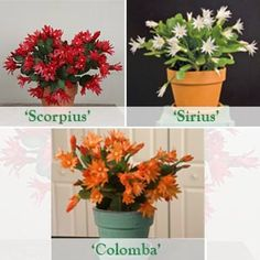Easter Cactus 'Scorpius,' 'Colomba' and 'Sirius' p. Real Plants, Exotic Plants, Exotic Flowers, Colorful Flowers, Tropical Plants, Easter Cactus, Cactus Flower, Cactus For Sale, Christmas Cactus Care