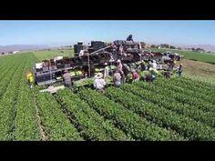 Khủng khiếp cảnh thu hoạch rau xanh ở nước ngoài