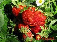Toto poraďte každému záhradkárovi: O takej úrode jahôd sa vám ani nesnívalo! House Plant Care, Houseplants, Flora, Remedies, Food And Drink, Strawberry, Health Fitness, Home And Garden, Fruit