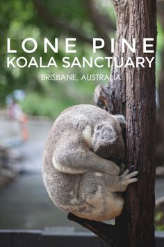 Lone Pine Koala Sanctuary - Living in Another Language