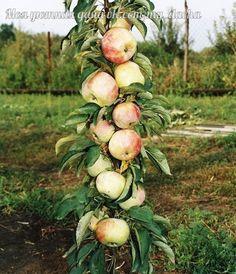 Колоновидные яблони: плюсы и минусы