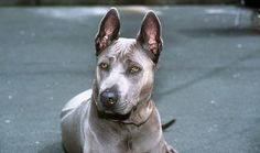 When it comes to unique dog breeds, the Thai Ridgeback will rank near the top of the list. There are several reasons for this, including their personality Unique Dog Breeds, Rare Dog Breeds, Bloodhound Dogs, Rhodesian Ridgeback, Thai Ridgeback, Different Dogs, Dog Items, Pet Life, Dogs Of The World