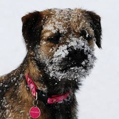 Bordered Terrier with a snowy face. I love my BTs!