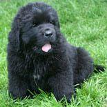 Newfoundland Puppy...want