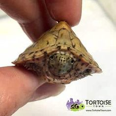 Aquatic turtles for sale online cheap, buy baby aquatic turtles, water turtle breeders near me live turtles for sale and baby freshwater turtle store. Baby Turtles For Sale, Cute Baby Turtles, Freshwater Turtles, Freshwater Aquarium, Aquarium Fish, Colorful Fish, Tropical Fish, Baby Tortoise For Sale, Musk Turtle