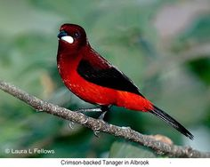 Crimson-backed Tanager - © Laura L Fellows and Exotic Birding Tours