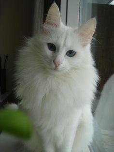 Beautiful white Turkish angora cat