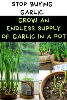 Stop buying garlic. Grow an endless supply of garlic in a pot Home Crafting Stop buying garlic. Grow an endless supply of garlic in a pot Home Crafting Container Herb Garden, Container Gardening Vegetables, Grow Potatoes In Container, Succulent Containers, Herbs Garden, Planting Vegetables, Container Flowers, Container Plants, Garden Tools