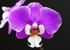 Phalaenopsis Hilo Lip 'Catnip - Google Search