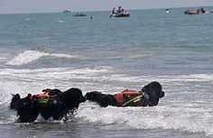 funny newfoundland dog sayings | newfoundland dog swimming newspaper article example baby newfoundland ...